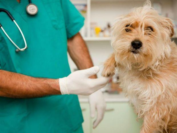 guia da adoção veterinário dando atendimento