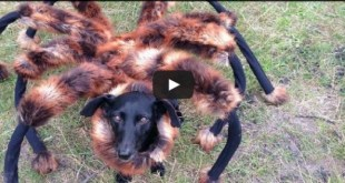 dog-giant-spider-costume-prank
