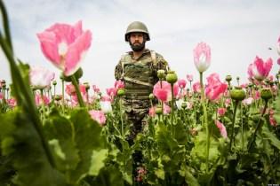 Un militare a passeggio in un campo di papaveri. Le Nazioni Unite avevano disposto (inutilmente) la distruzione delle coltivazioni di oppio.