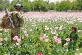 Nell'ovest e nel sud del Paese si estendono sterminate coltivazioni di oppio. Prevalentemente nelle zone sotto il controllo statunitense e britannico.