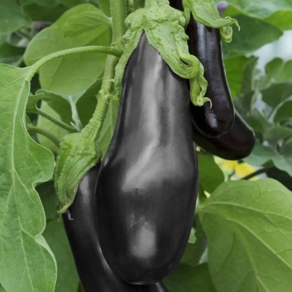Aubergine Egg Plant Black Beauty POPPA DOM'S ONLINE SHOP