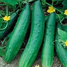 Cucumber Early Spring Burpless F1