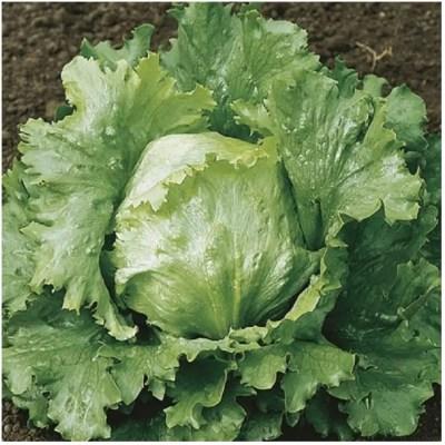 Lettuce Crisphead Webbs Wonderful