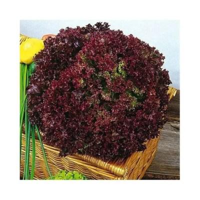 Lettuce Lolla Rossa