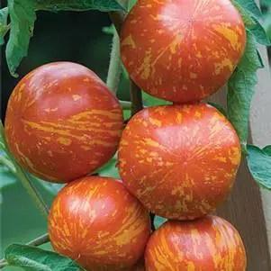 Tomato Red Zebra (Improved)