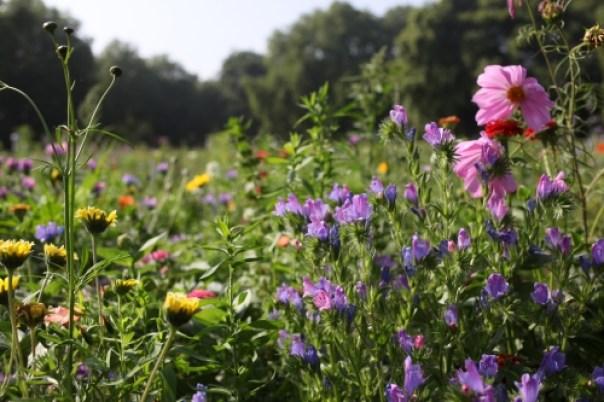 London Fields Wildflower Meadow