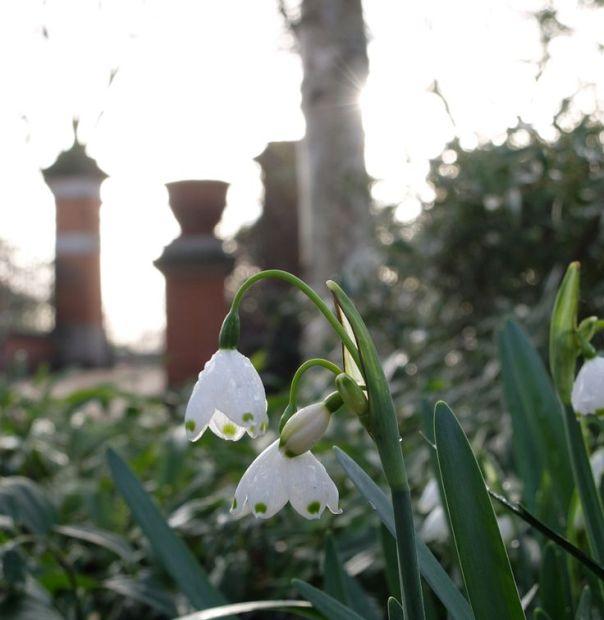 snowdrops chelsea physics garden