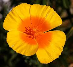 California Poppy Extract: Discover the Health Benefits Today!