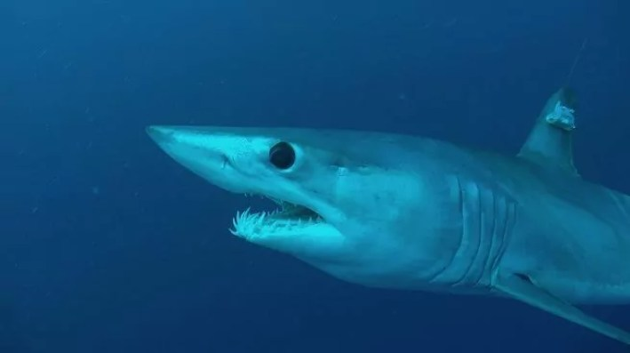 نتيجة بحث الصور عن القرش الابيض كندا