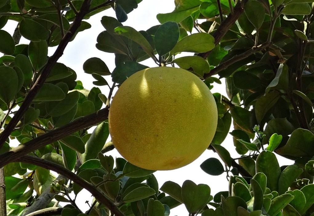 grapefruit tree what to plant in zone 9