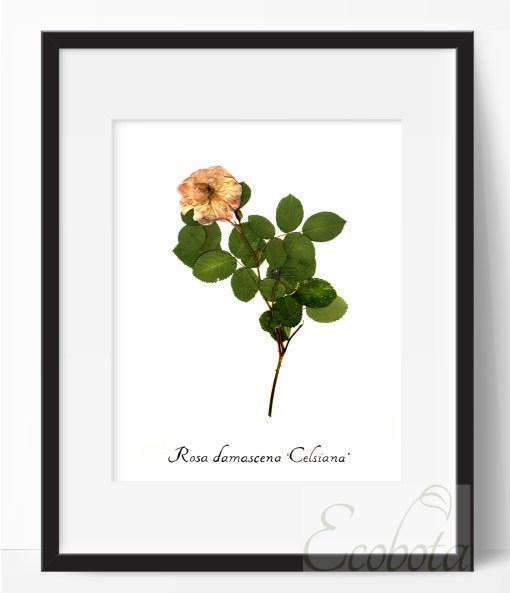 damask-rose-herbarium-botanical-print