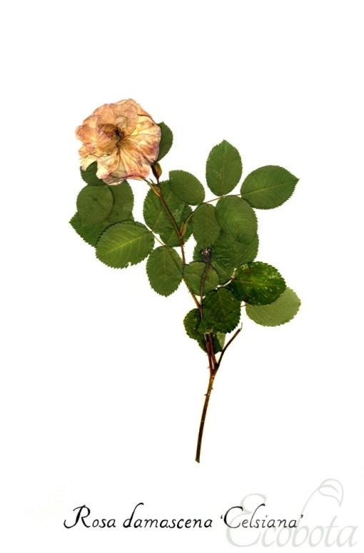 damask-rose-pressed-flower-art-print