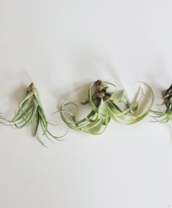 how to display air plants indoors pop shop america