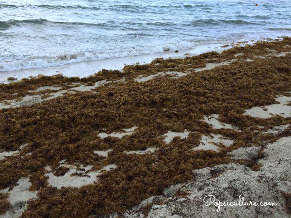 Miami Seaweed
