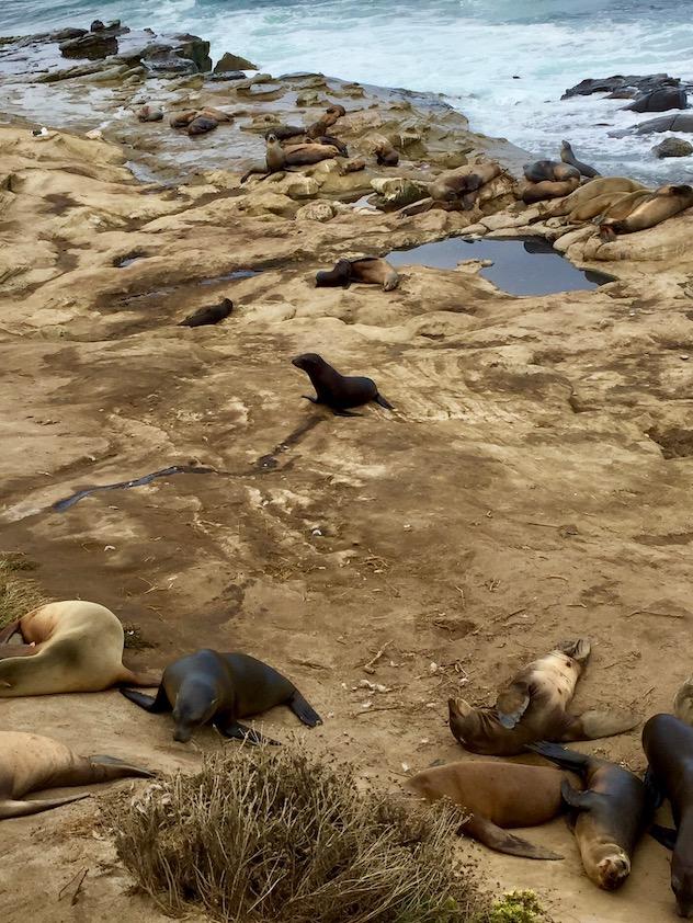 San Diego La Jolla Sea Lions