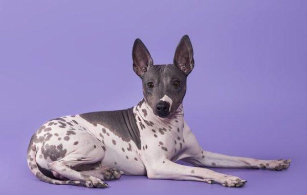 Американский голый терьер: описание, стандарт собаки, уход ...