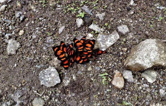 Mariposas en el camino a Machu Picchu.