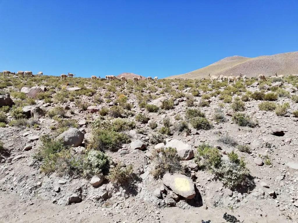 Vicuñas en San Pedro de Atacama.