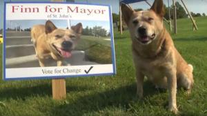O cão canditado a perfeito da cidade de St. John,Canadá.