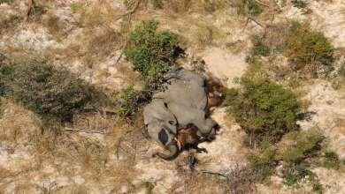 Photo of Novo vírus ou veneno são hipótese para morte de centenas de elefantes