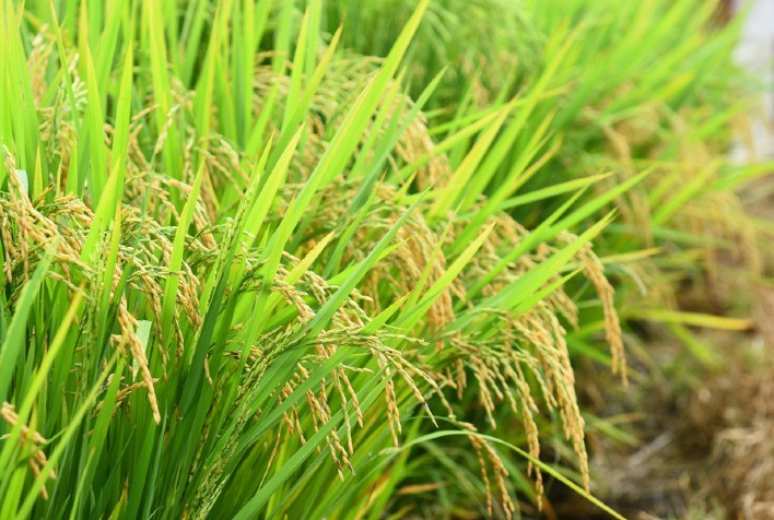 Produção brasileira de arroz para 2021 é estimada em 10,8 milhões de t – IBGE