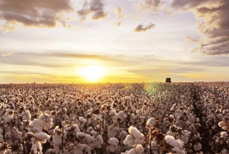 Custos de produção da safra 2021/22 de algodão são elevados – Imea