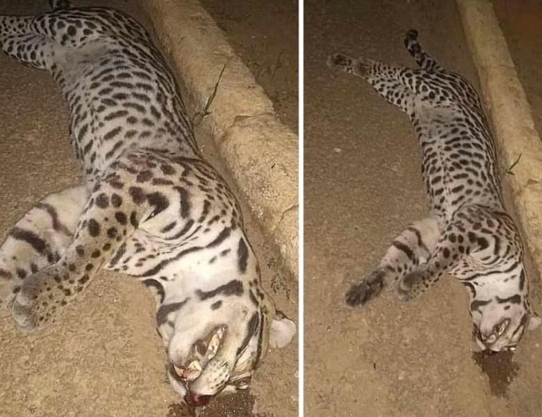 Filhote de onça-pintada é morto atropelado perto da Terceira Ponte em Rio Branco