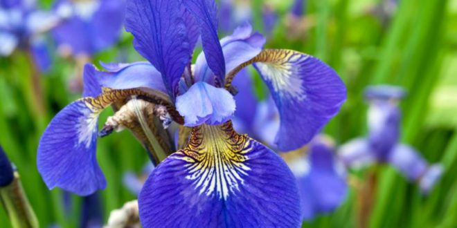 Iris Come Curare E Coltivare Gli Iris In Vaso E In Giardino