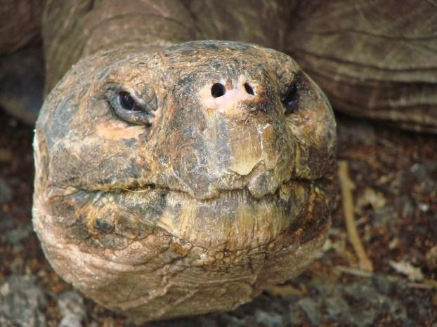 tartarughe-giganti-galapagos
