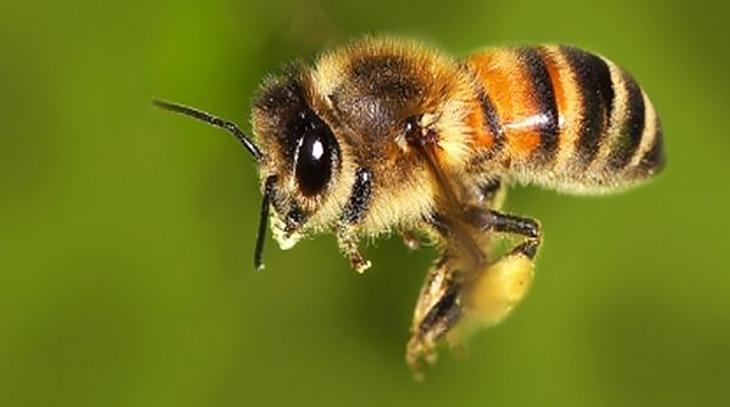 L'ape, sai veramente quanto è importante?