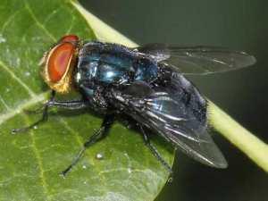 mosca callifora