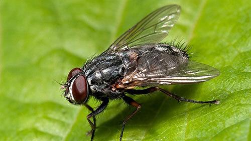 mosca-domestica