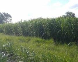 Maralfalfa pasto forraje para bovinos