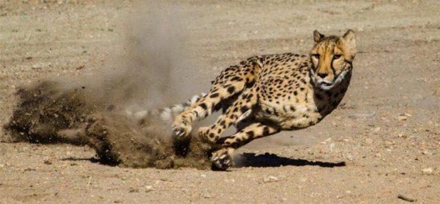 5 animales terrestres mas veloces del mundo
