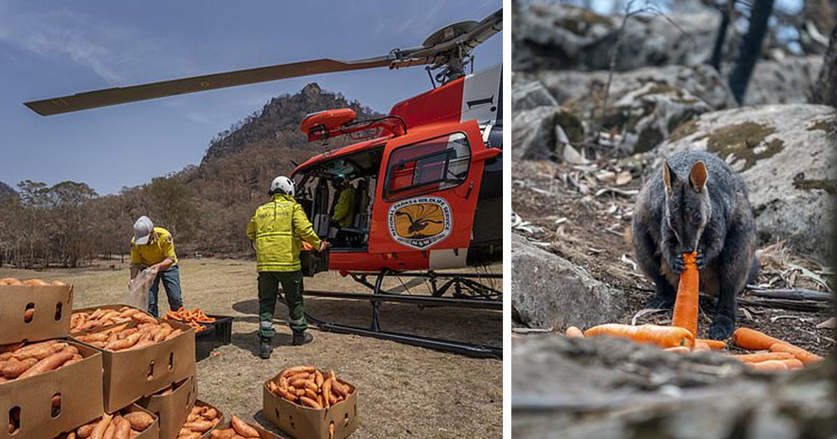 Após incêndios, avião joga legumes para animais famintos na Austrália