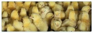 Surto de gripe aviária assusta fazendeiros americanos