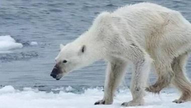 Ursos passam fome no Ártico