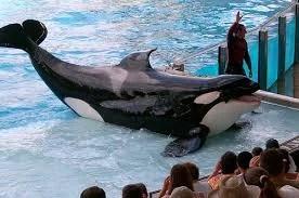 Orcas não podem ser criadas em parques