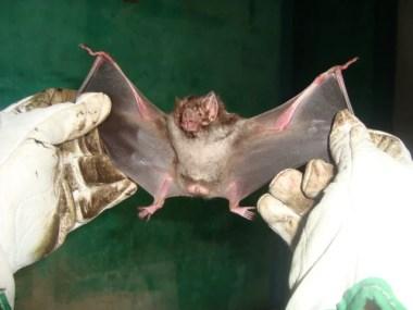 Morcegos da espécie Desmodus Rotundu em Salvador