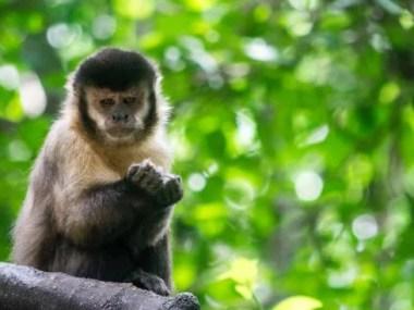 133 macacos com suspeita do vírus da Febre Amarela em Salvador