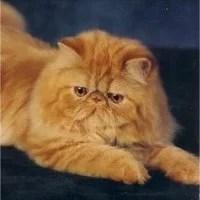 como-cuidar-de-gatos-persas