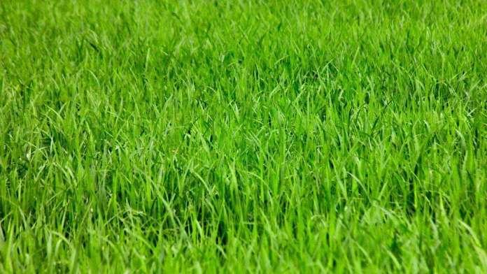 arroz-agricultura