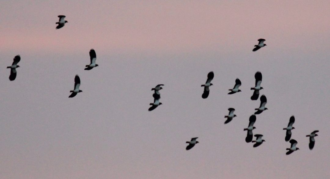 Gordano Valley lapwings