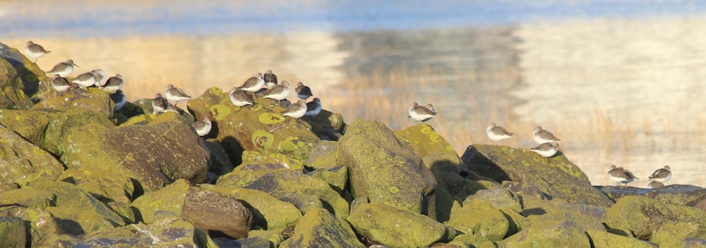 Dunlins on the rocks in Portishead Hole at high tide