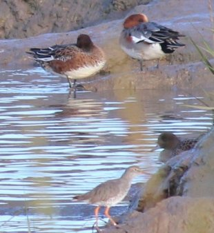 male and female wigeon