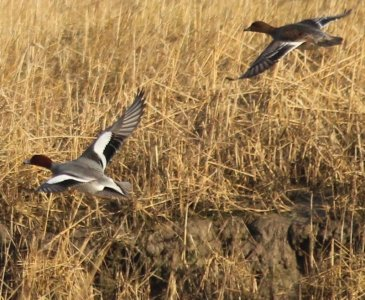 male and female wigeon in flight