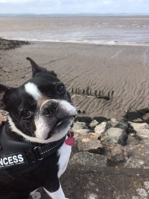 Stella the Boston Terrier