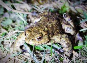Portbury Wharf's amphibians - a toad at night