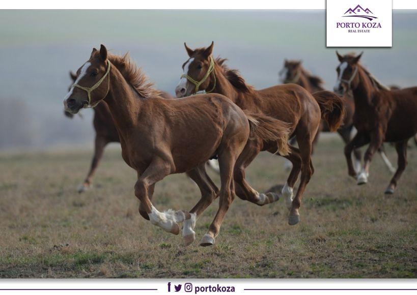 """خيول برية علي جبل """"إرجييس"""""""