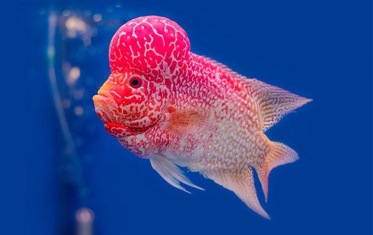 Flowerhorn Cichlid Fish